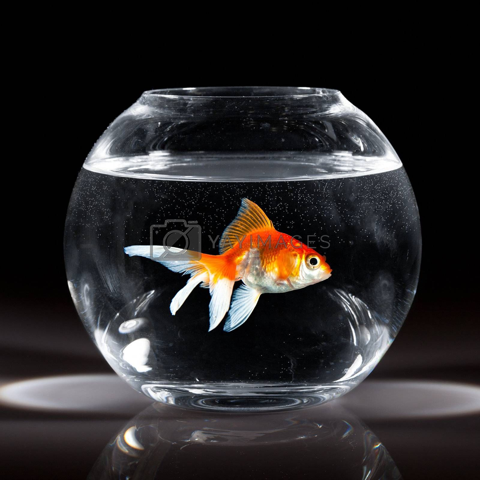 goldfish floats in an aquarium on a dark background