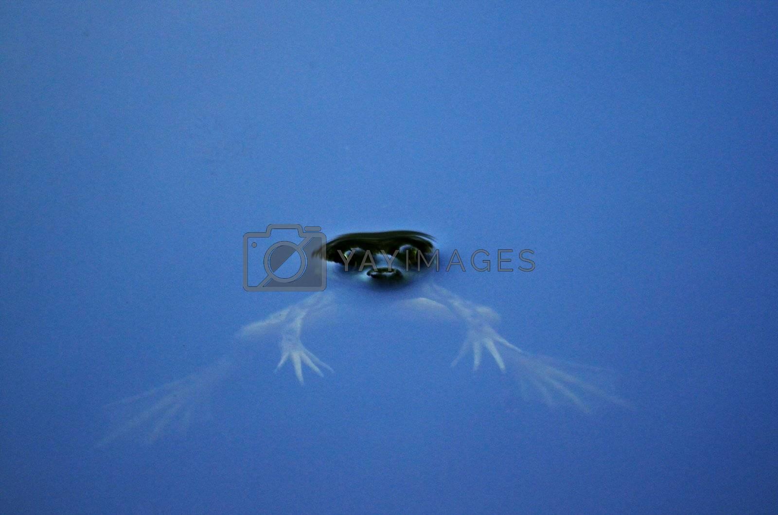 Frog with bulging eyes peeking through the surface