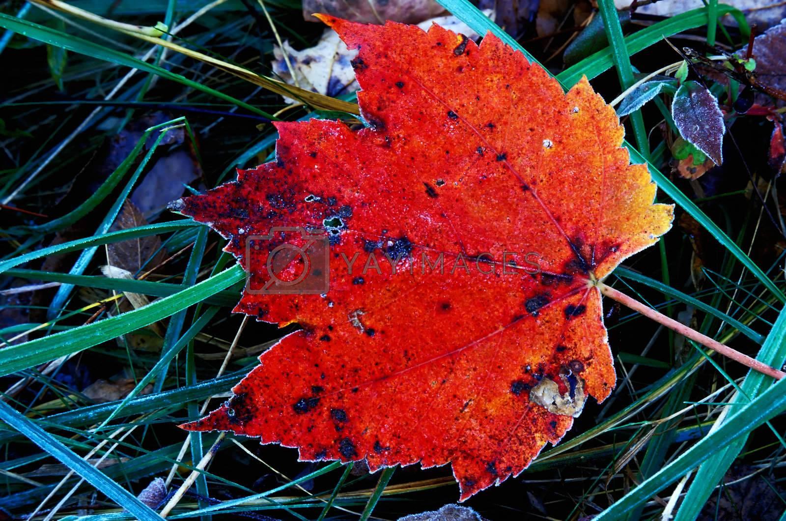 Maple leaf on frosting morning.