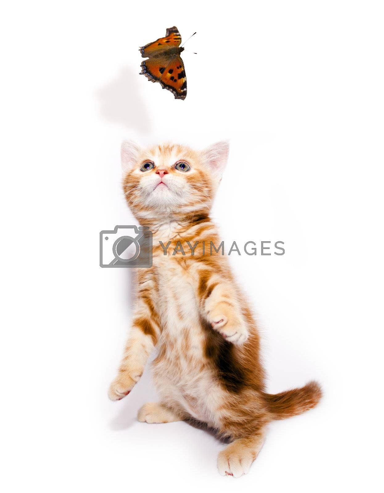 small redhead kitty and butterfly on white background
