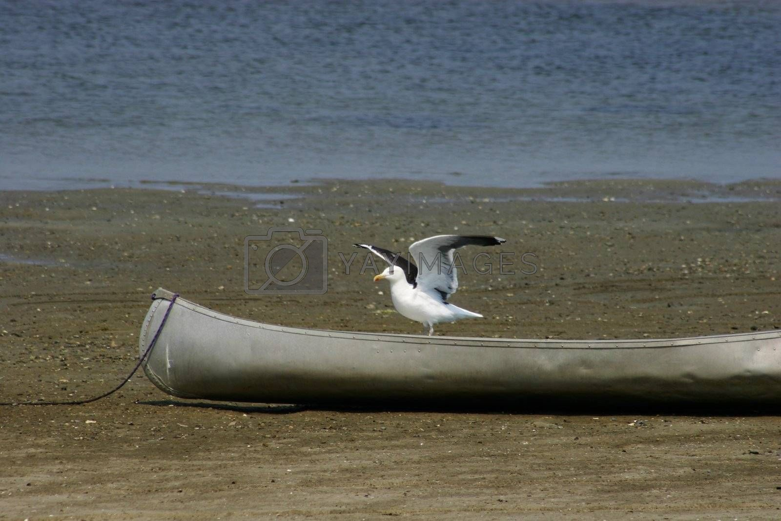 Seagull ready to take flight from a grounded canoe