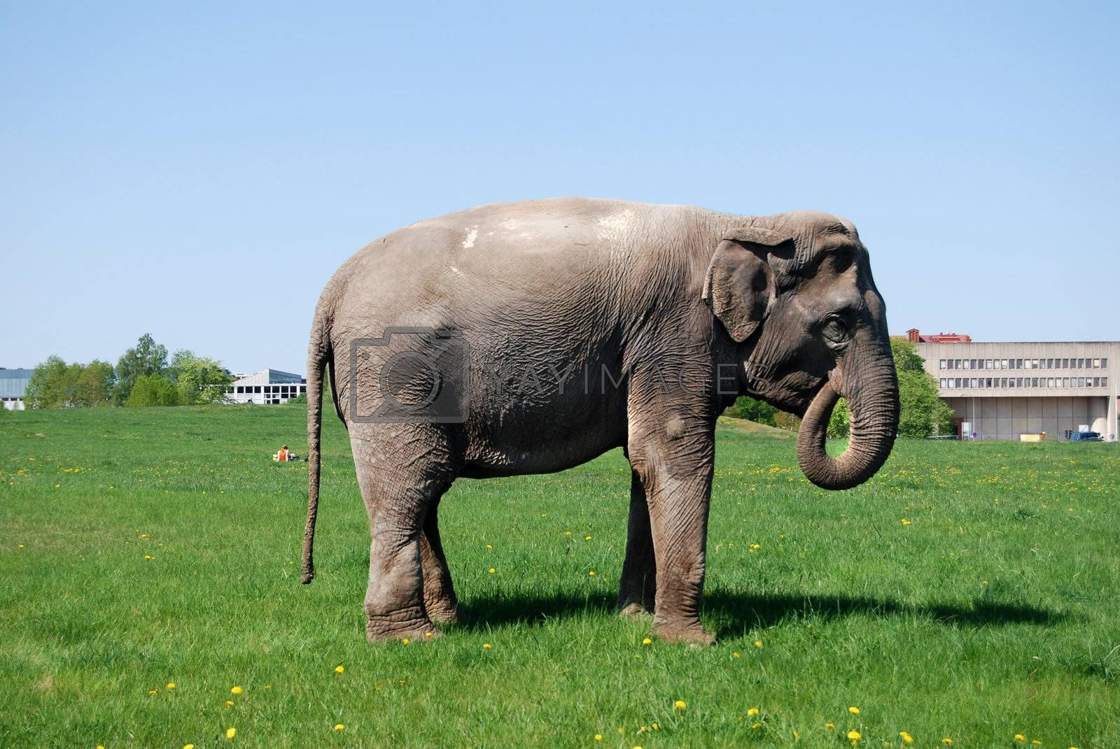 Elefant eating grass at central Stockholm city park in may 2008. Cirkus in town.