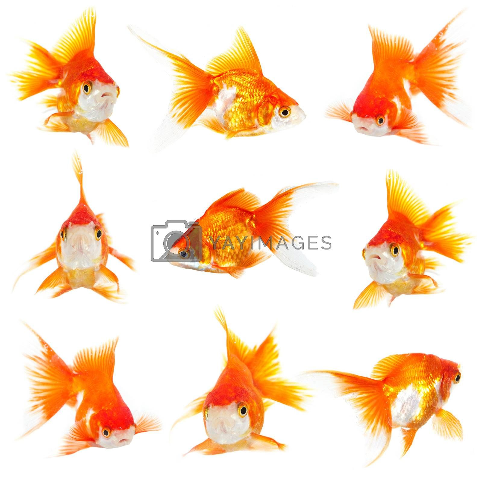 Gold small fishs on a white background