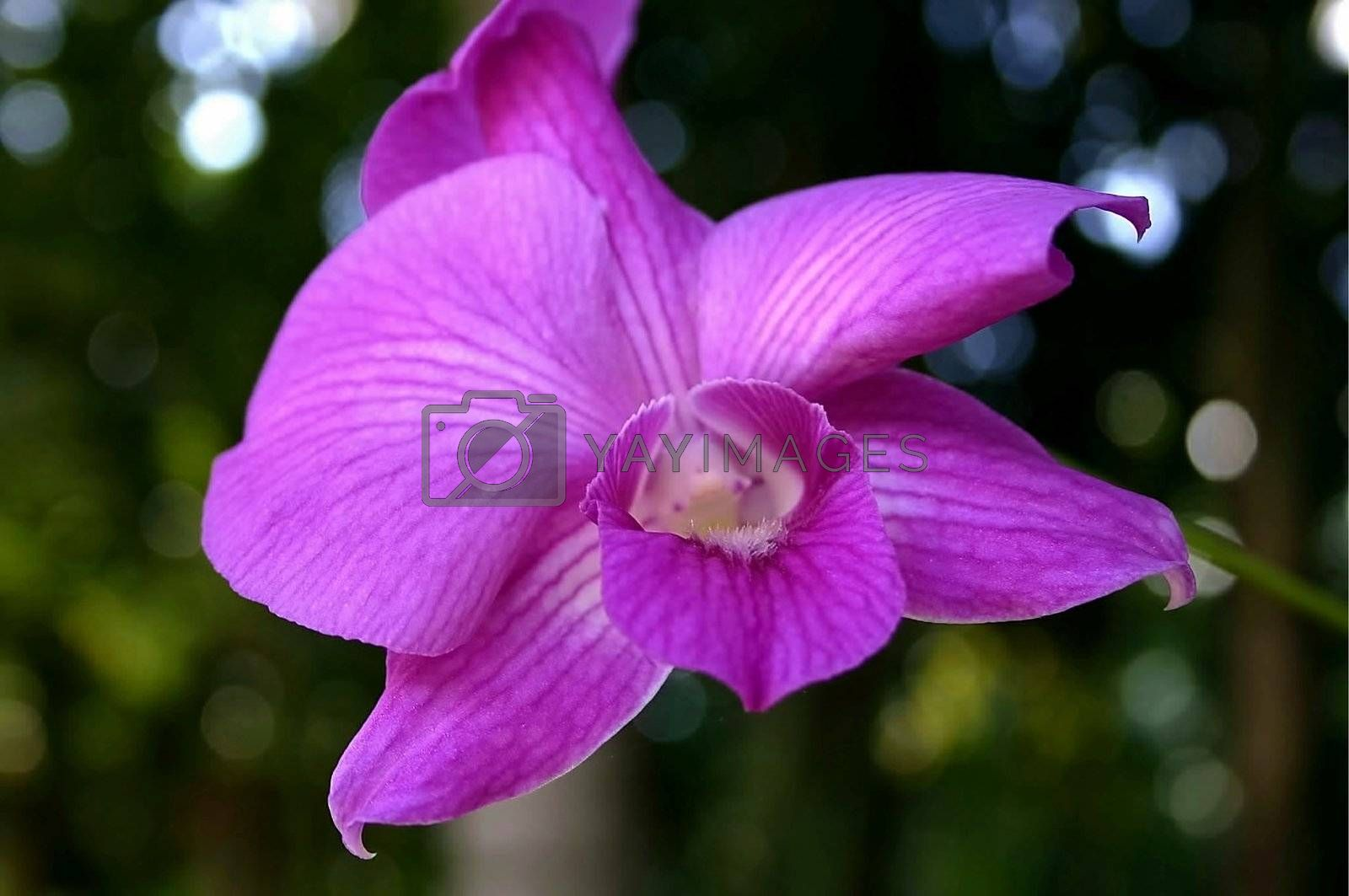 single purple orchid from a Caribbean garden