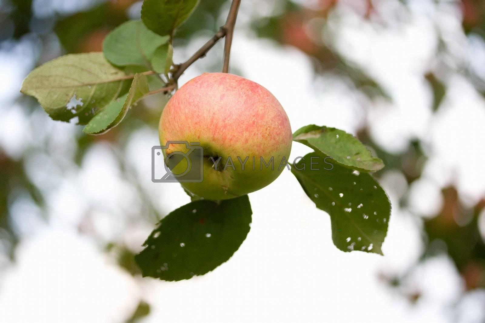 tree ripe agriculture green autumn leaf apple