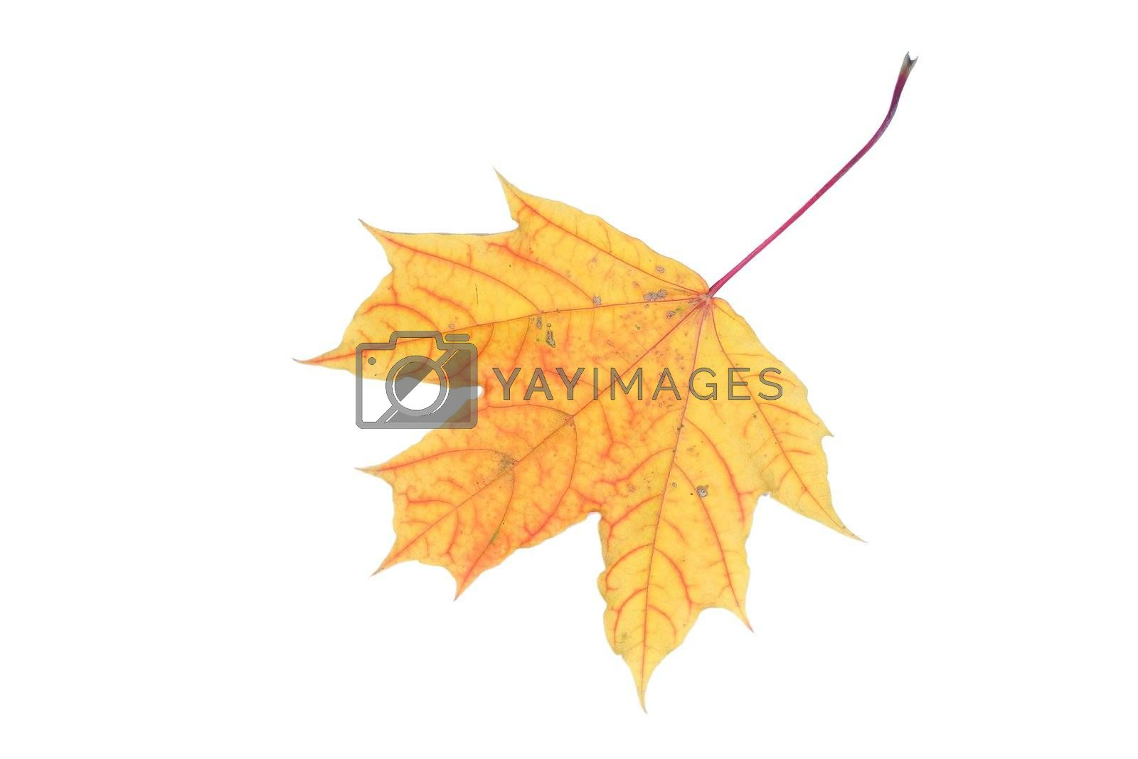 isolated tree white autumn yellow maple leaf