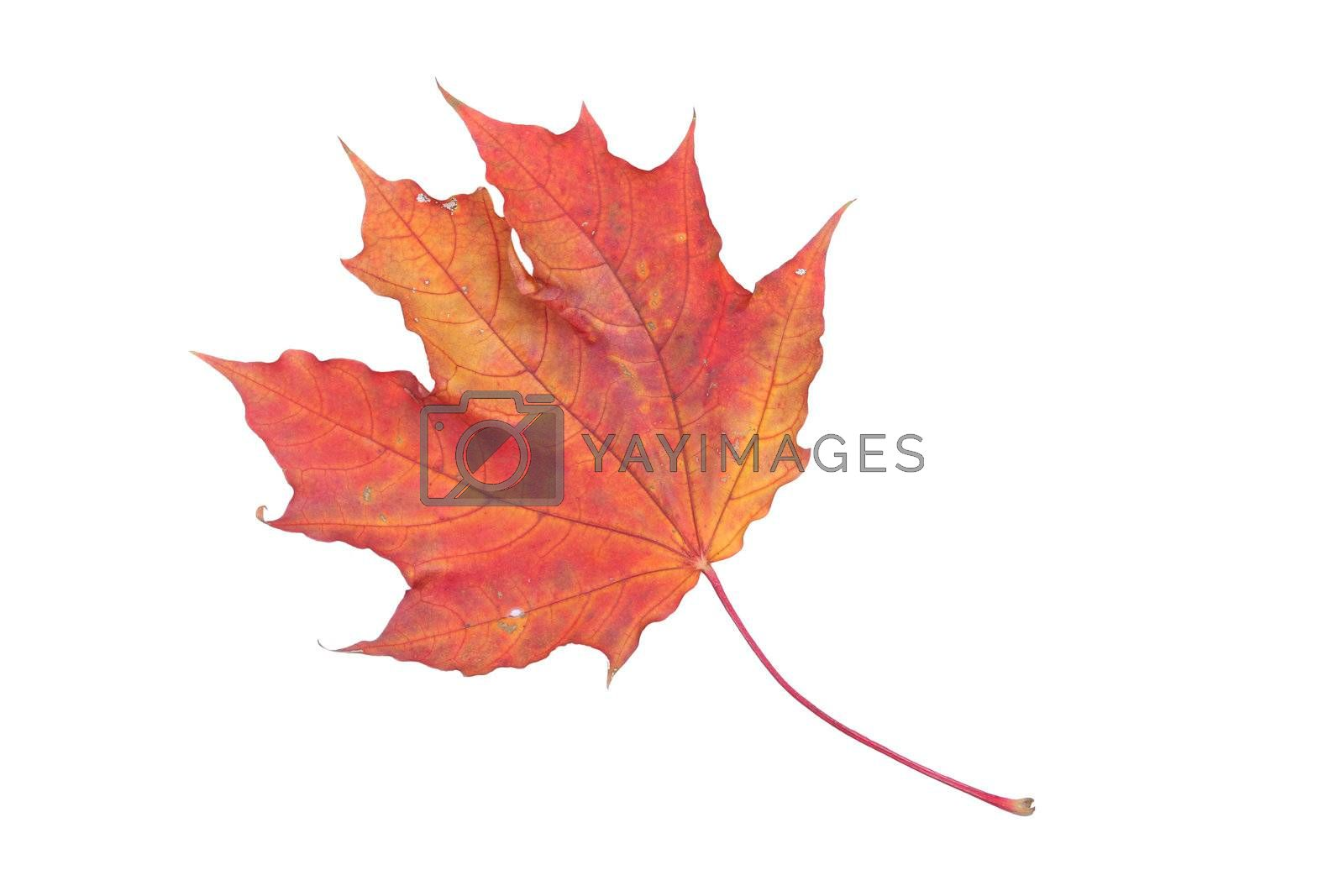 isolated white red yellow leaf bright maple