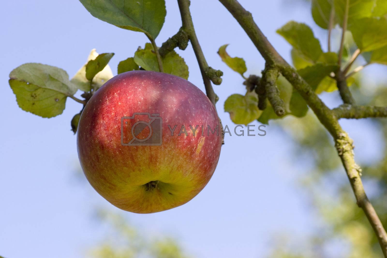 Apple on tree by ArtmannWitte