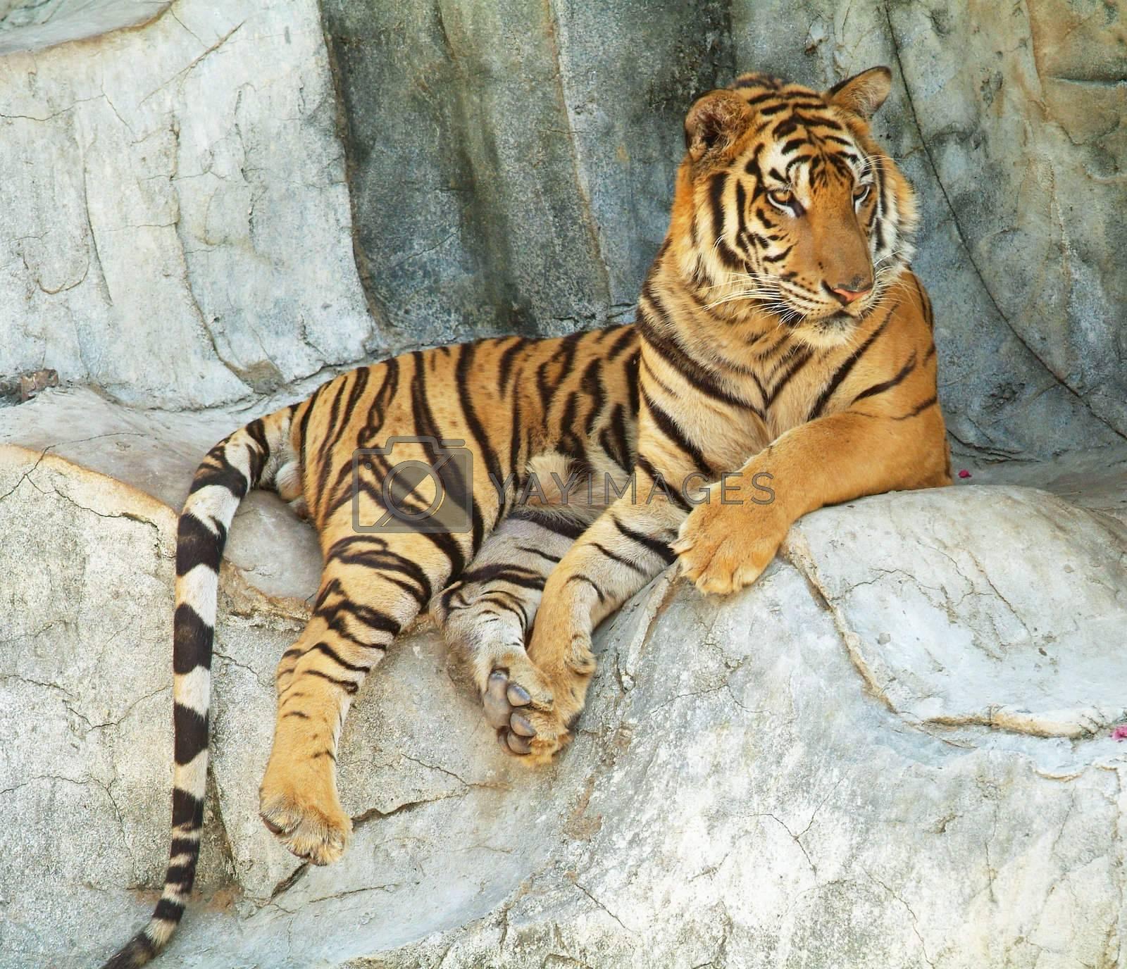Tiger resting by epixx
