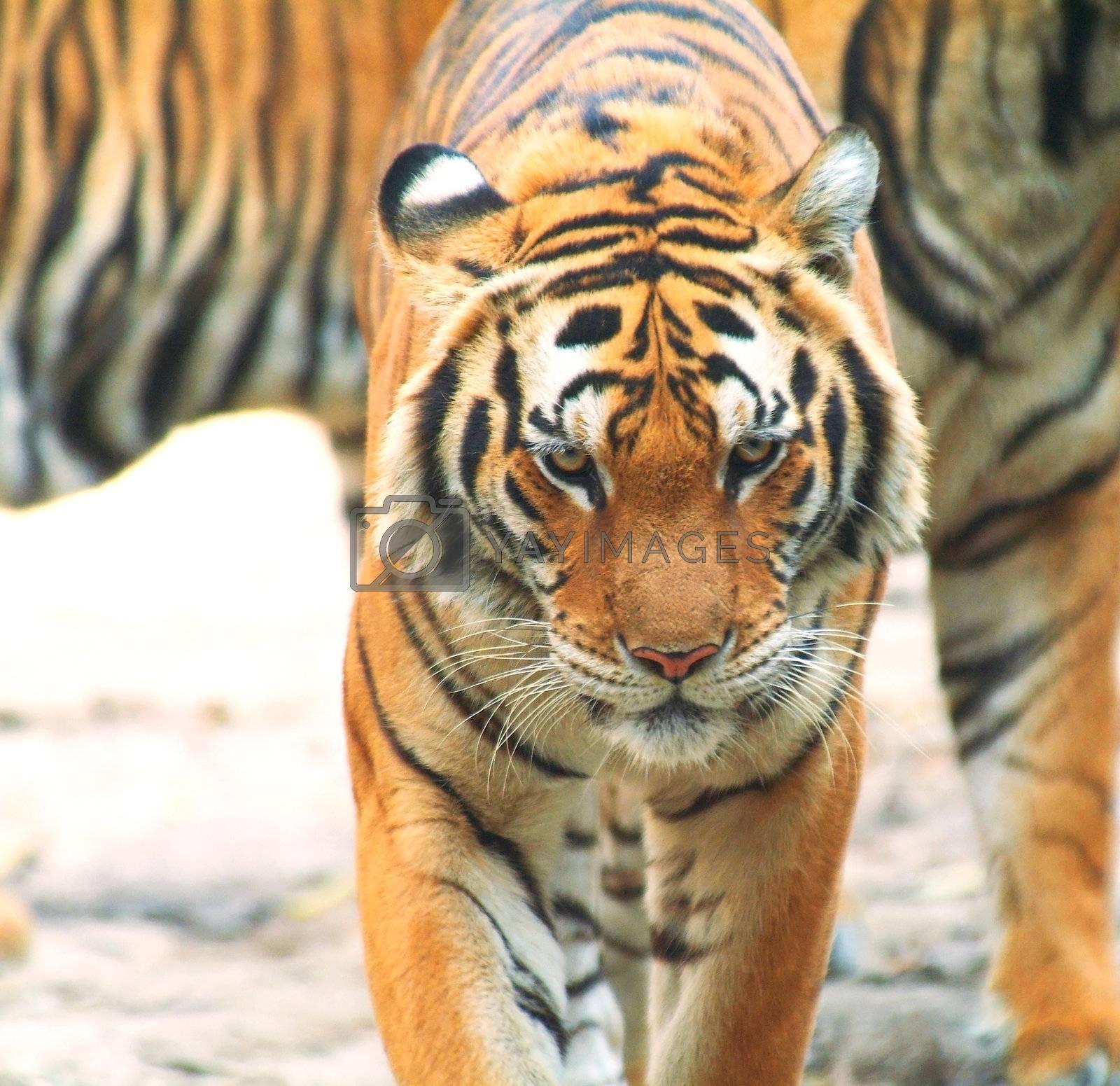 Tiger walking by epixx
