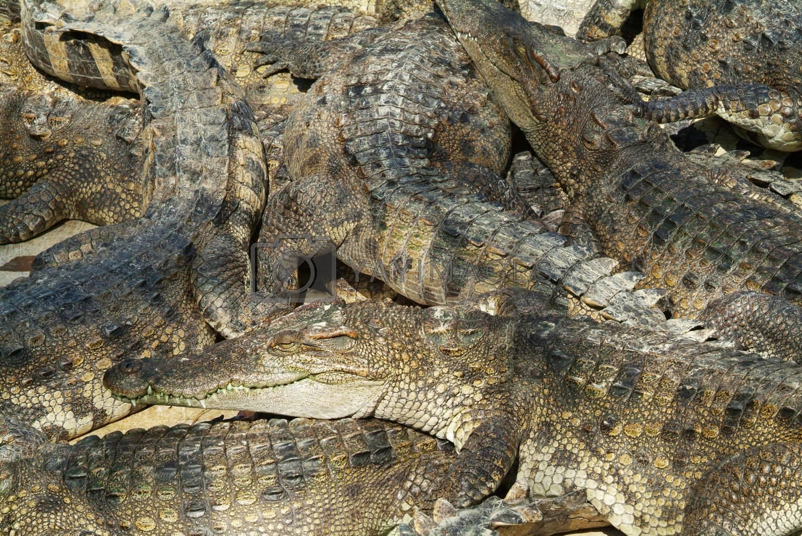 Crocodile abstract by epixx