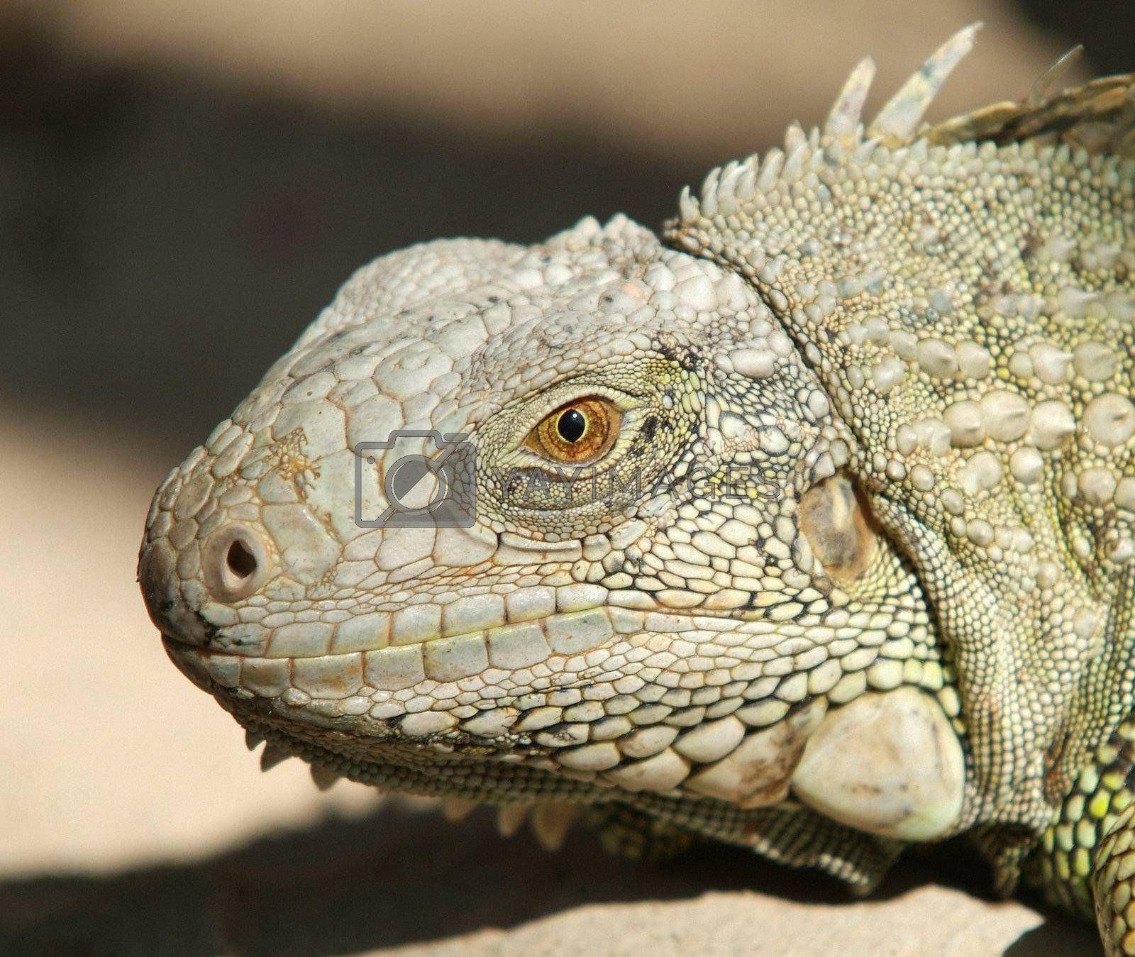 Head of iguana by epixx