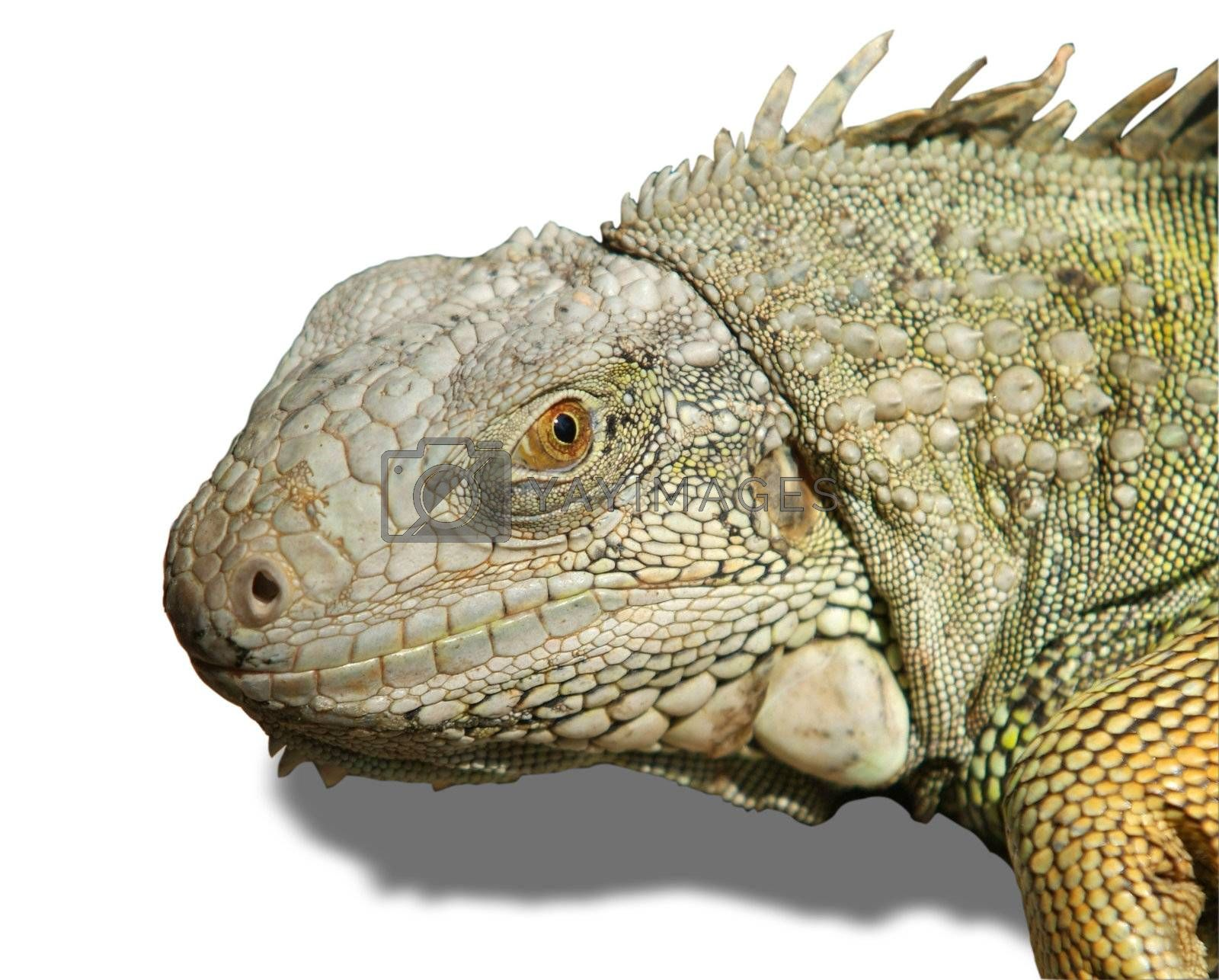 Head of iguana isolated by epixx