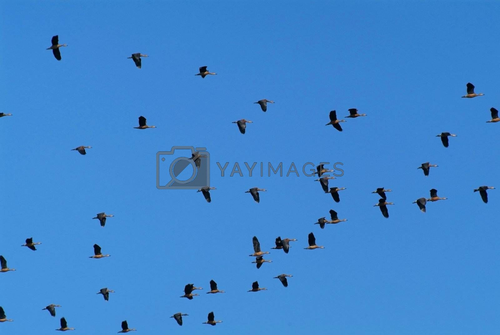 Geese flying by epixx