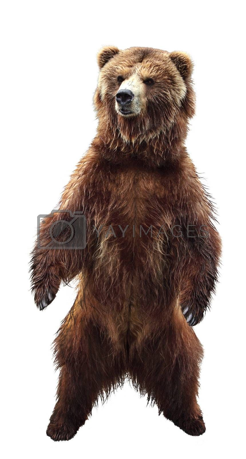 Big standing brown bear, isolated