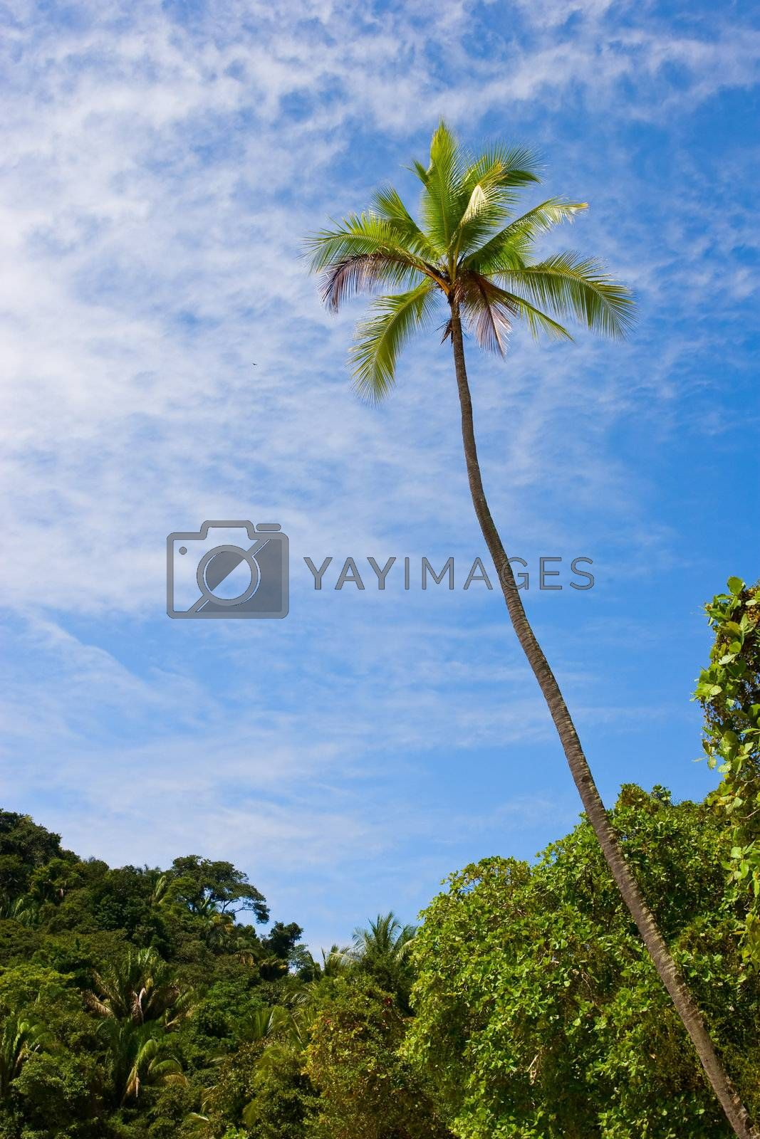 Photo of a coconut tree against blue sky. Costa Rica.