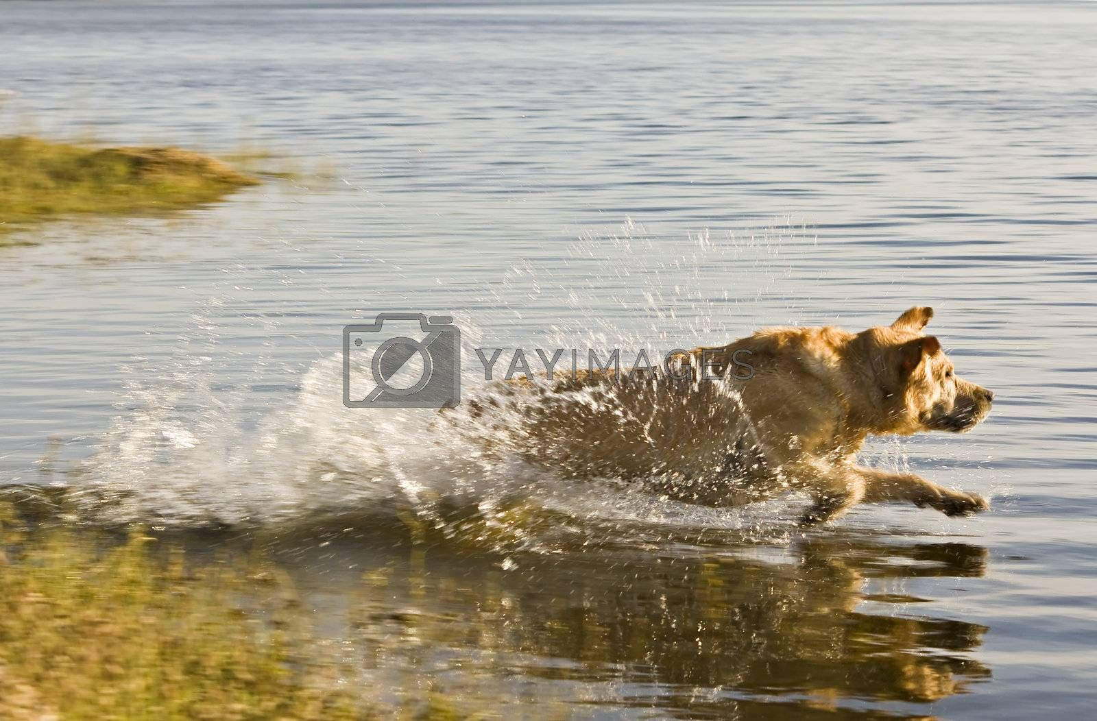 Labrador retriever running into the water