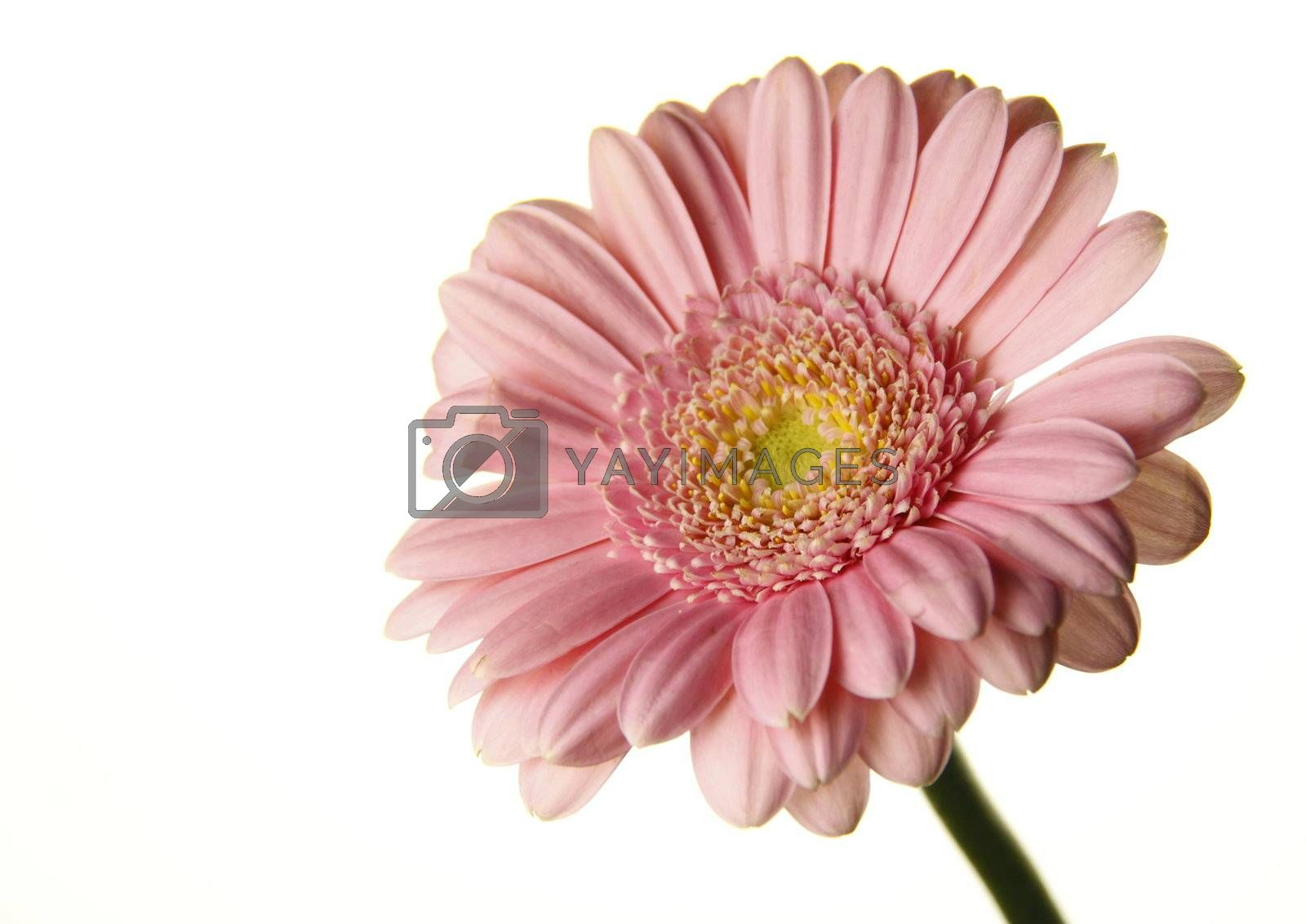 this delicate pink zinnia is isolated over a white background