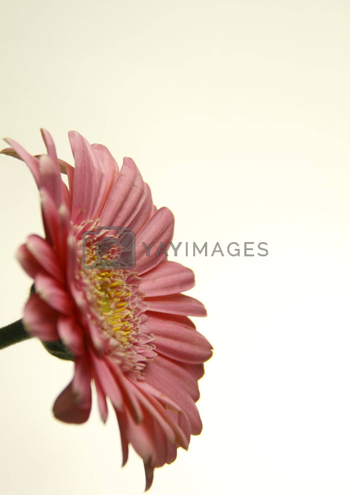 this delicate pink zinnia over a light background