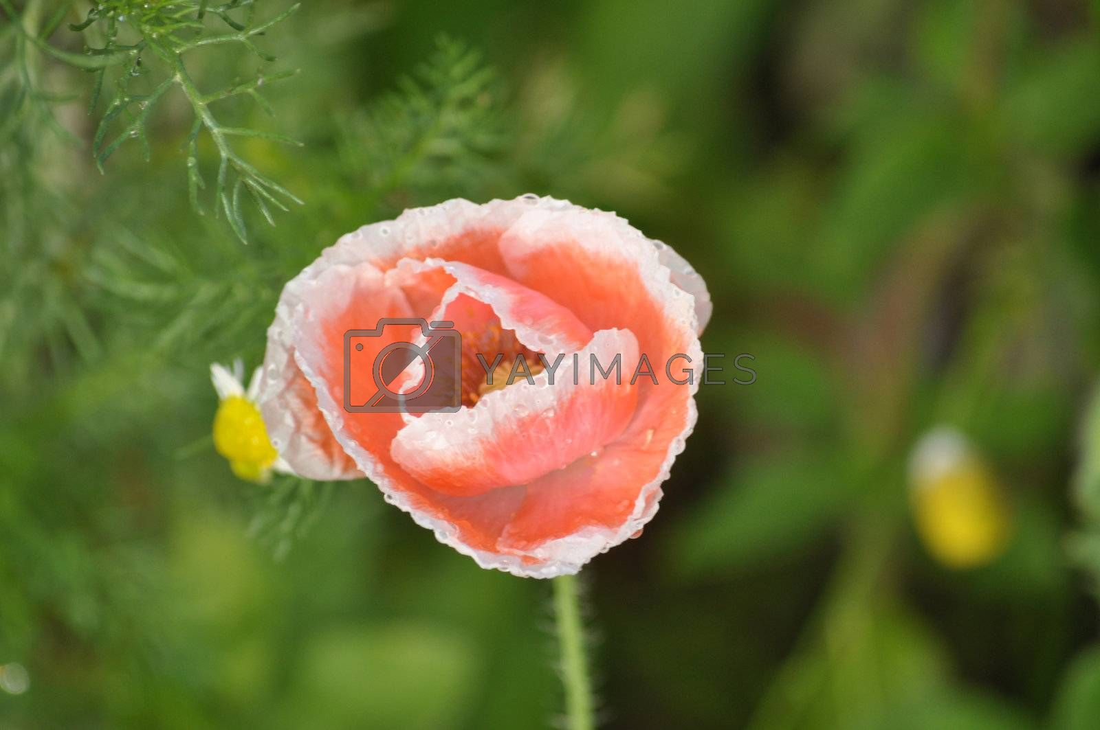 Poppies are sometimes used for symbolic reasons, such as in remembrance of soldiers who have died during wartime.