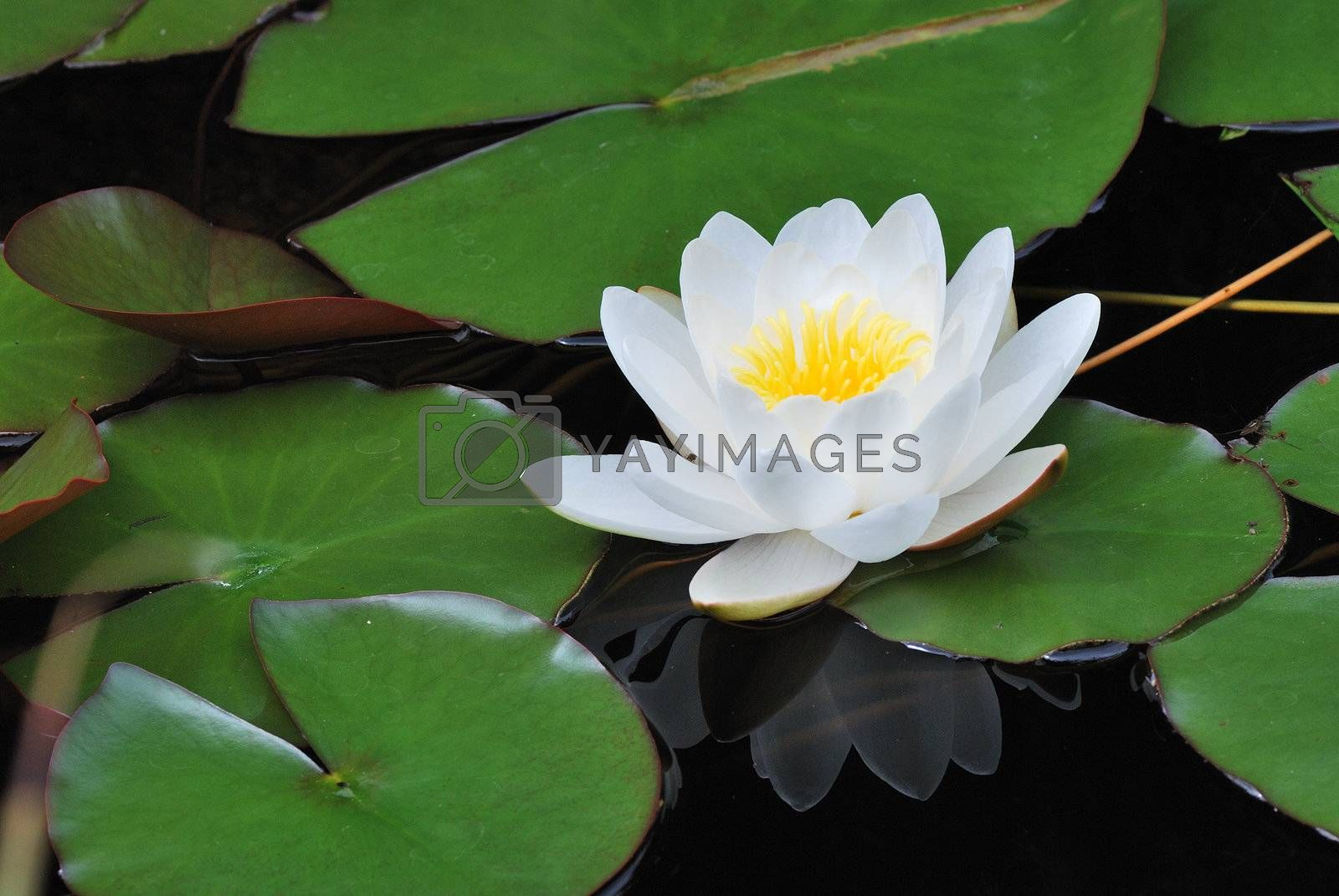 beautiful white lily bloomed with reflection in pond