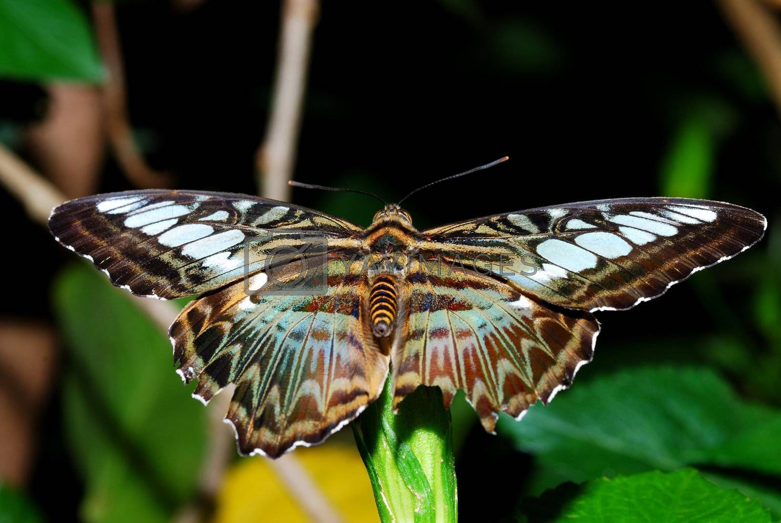 nice big colorful butterfly is sitting on leaf in rainforest