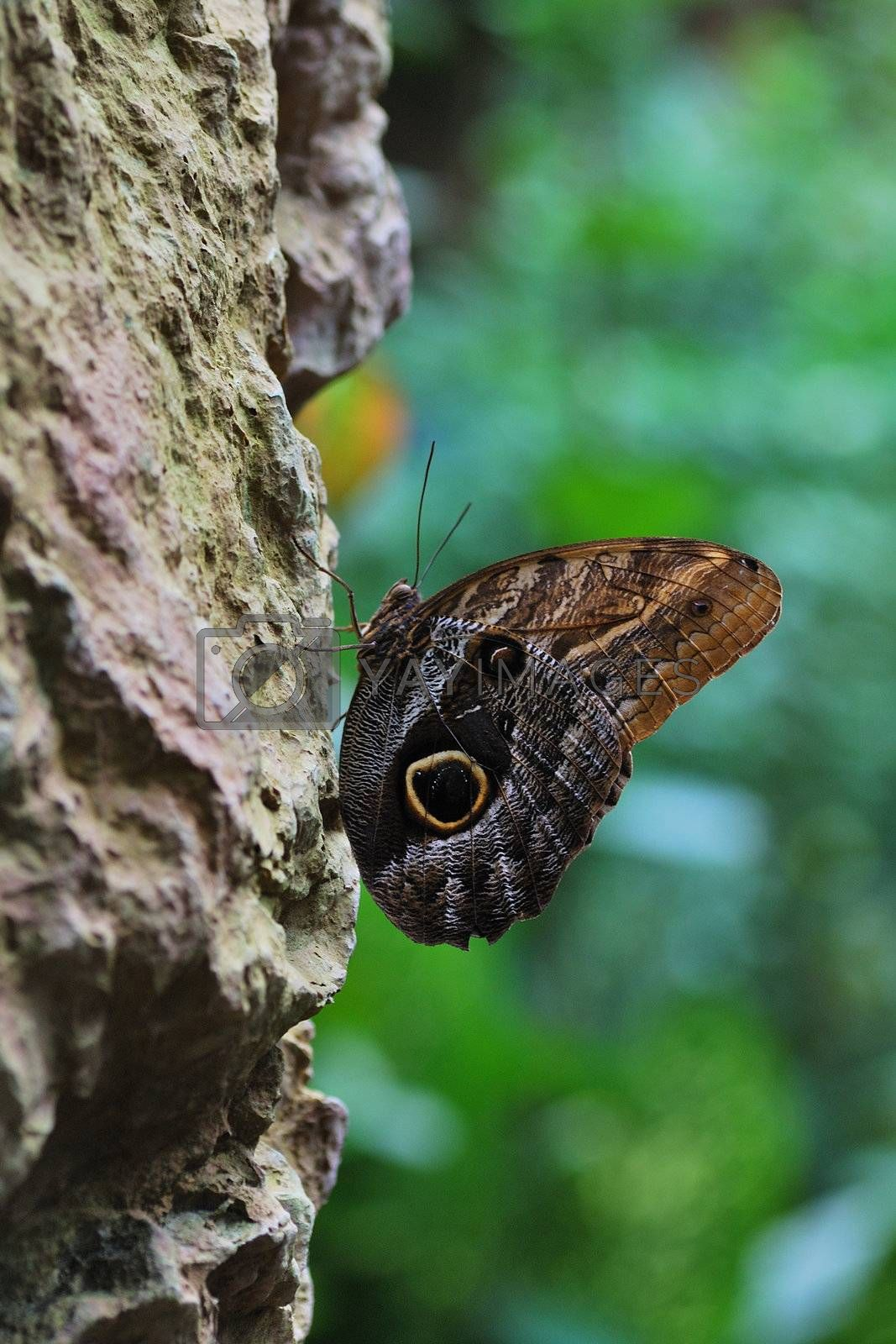beautiful large brown butterfly sits on a rock in the rain forest