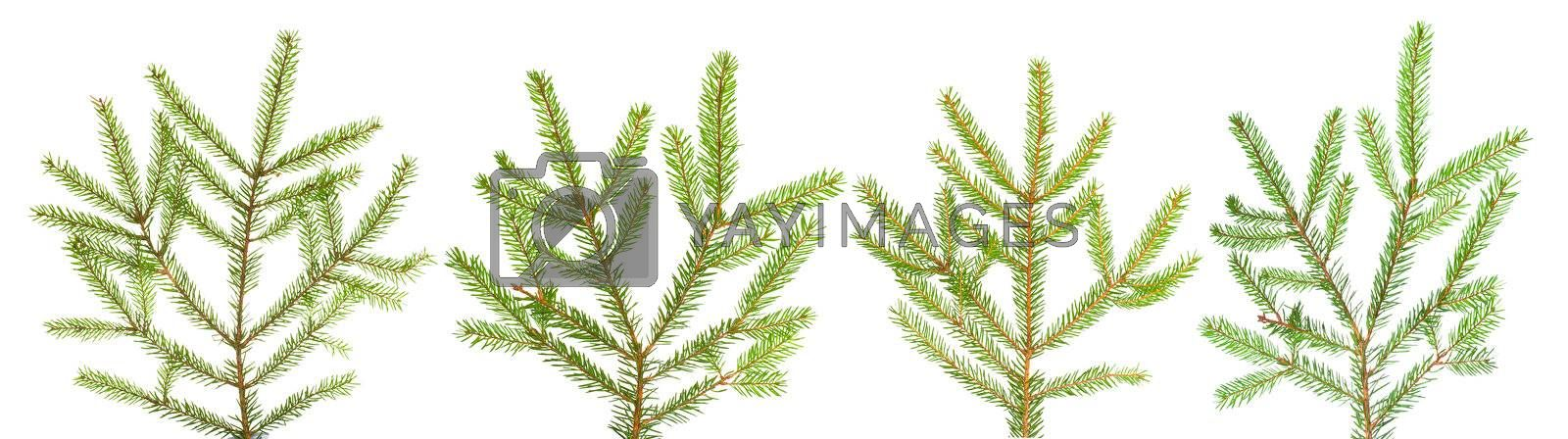 branches of fir-tree, isolated on white