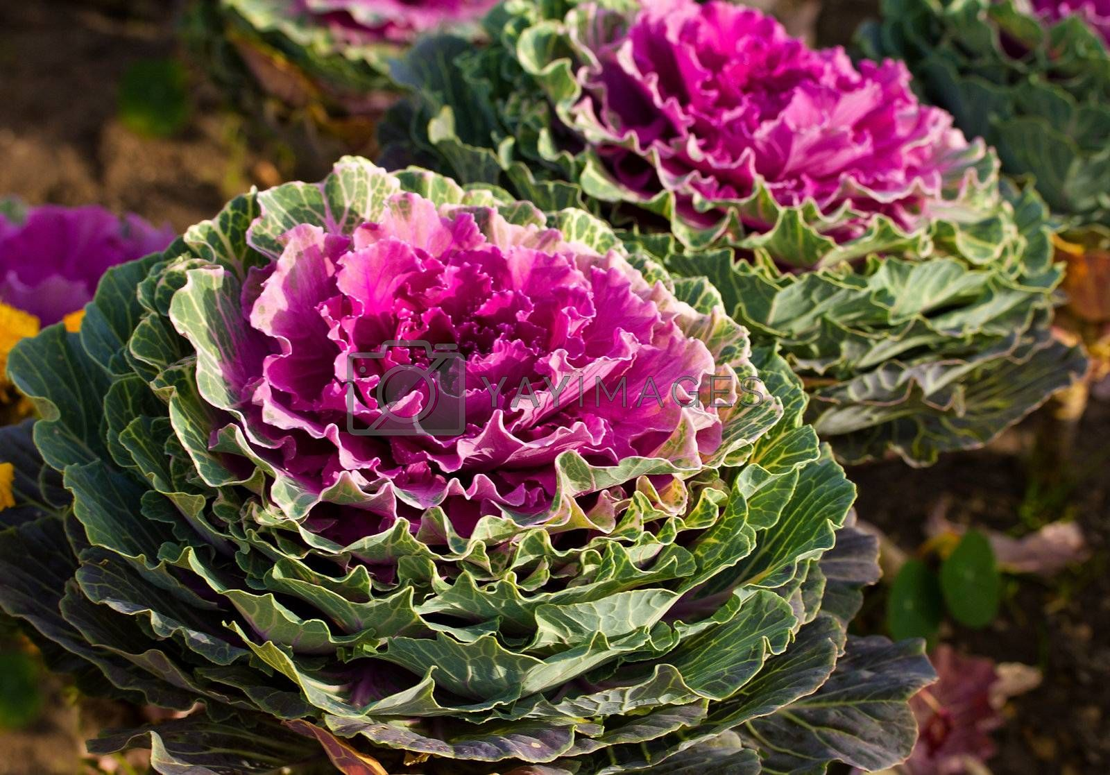 decorative cabbage by Alekcey
