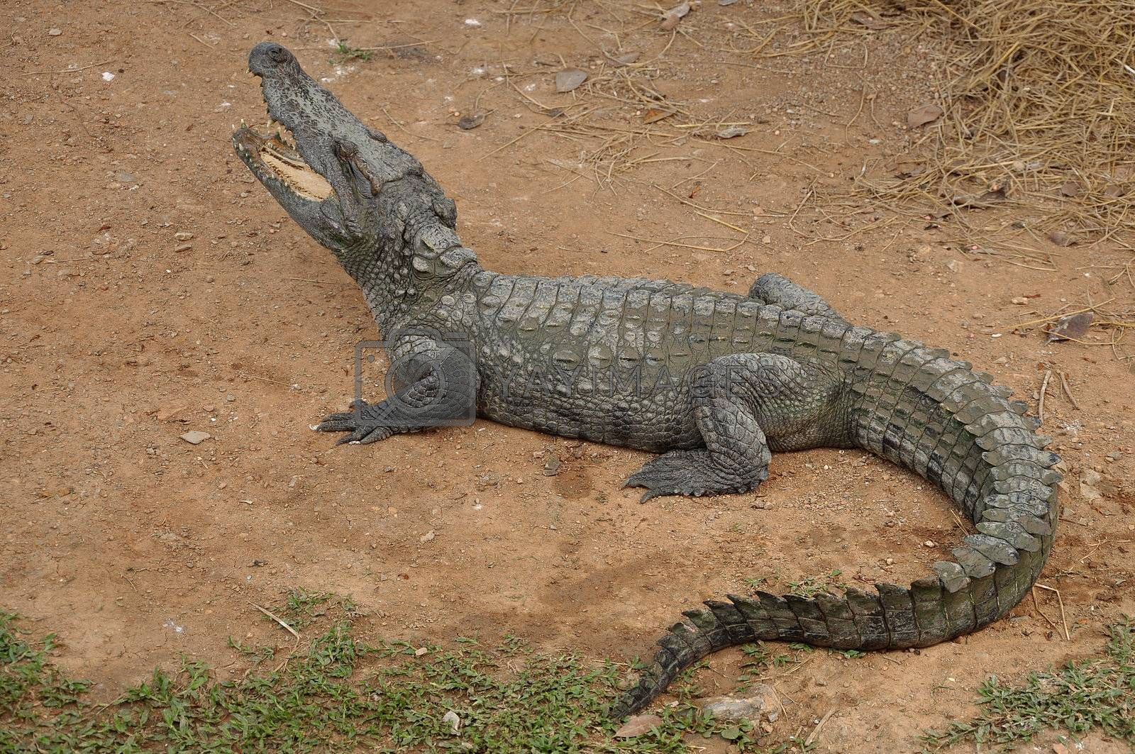 Siamese crocodile is a freshwater crocodile native to Indonesia (Borneo and possibly Java), Brunei, East Malaysia, Laos, Cambodia, Burma, Thailand, and Vietnam. The species is critically endangered and already extirpated from many regions.