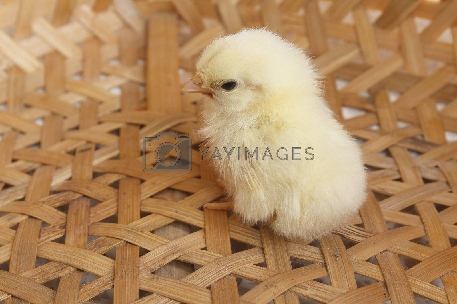 Just newborn bantam chick in bamboo basket