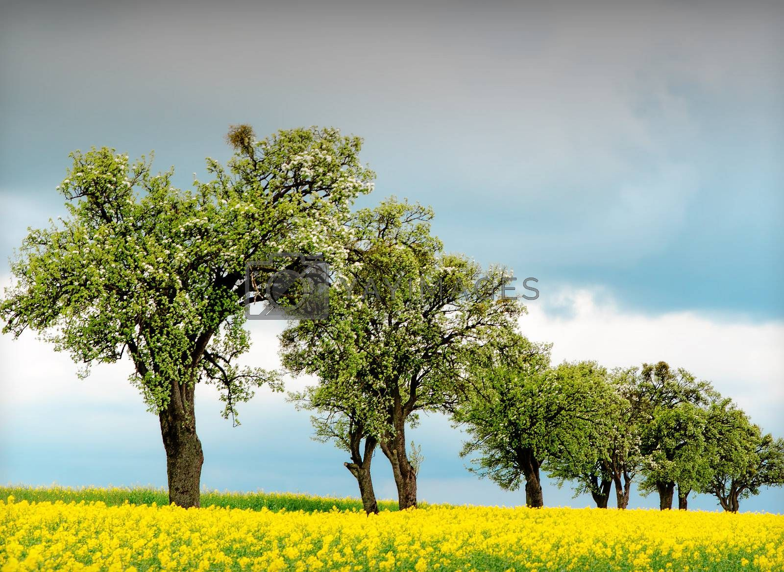 trees surrounded by rapeseed