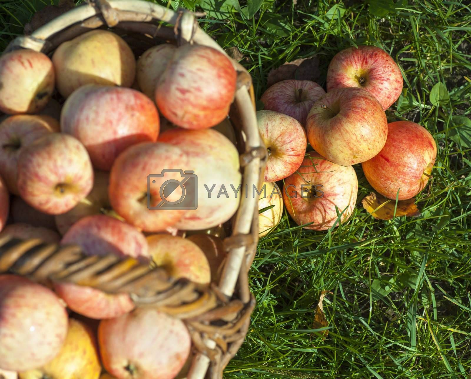Fresh ripe red apples in a basket on a green grass