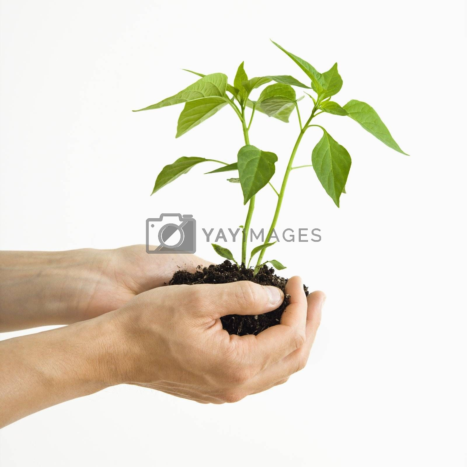 Man's hand standing holding growing cayenne plant.