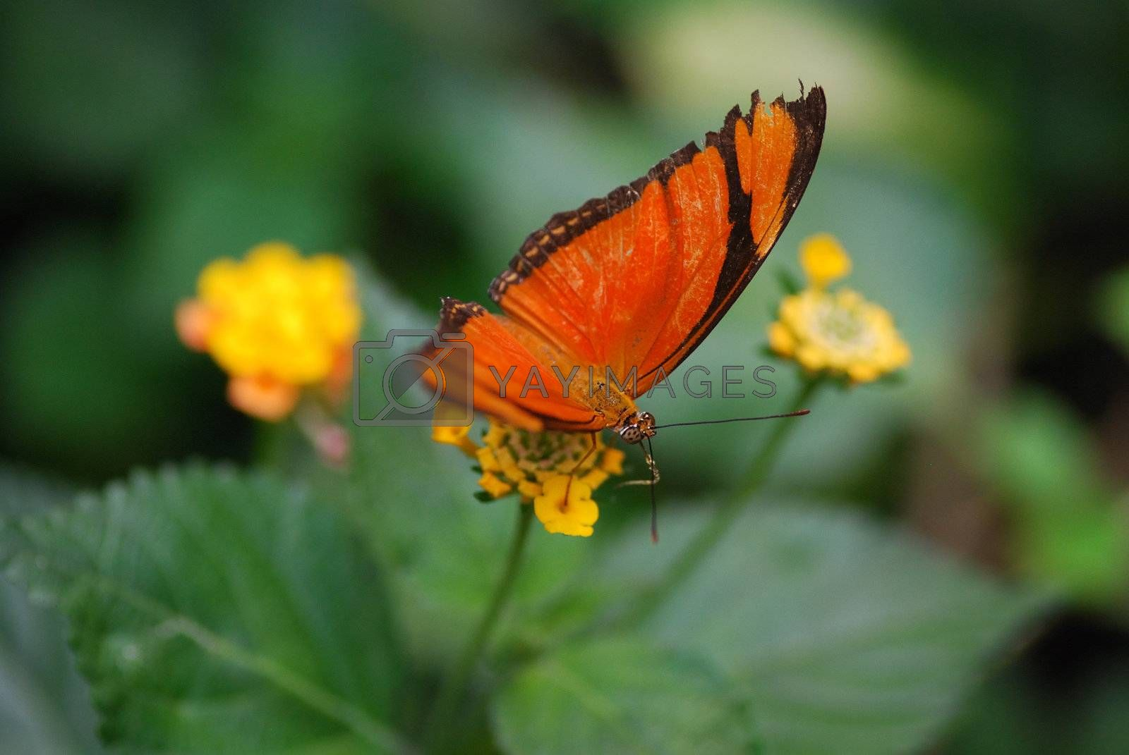 beautiful colorful orange butterfly sitting on yellow flower
