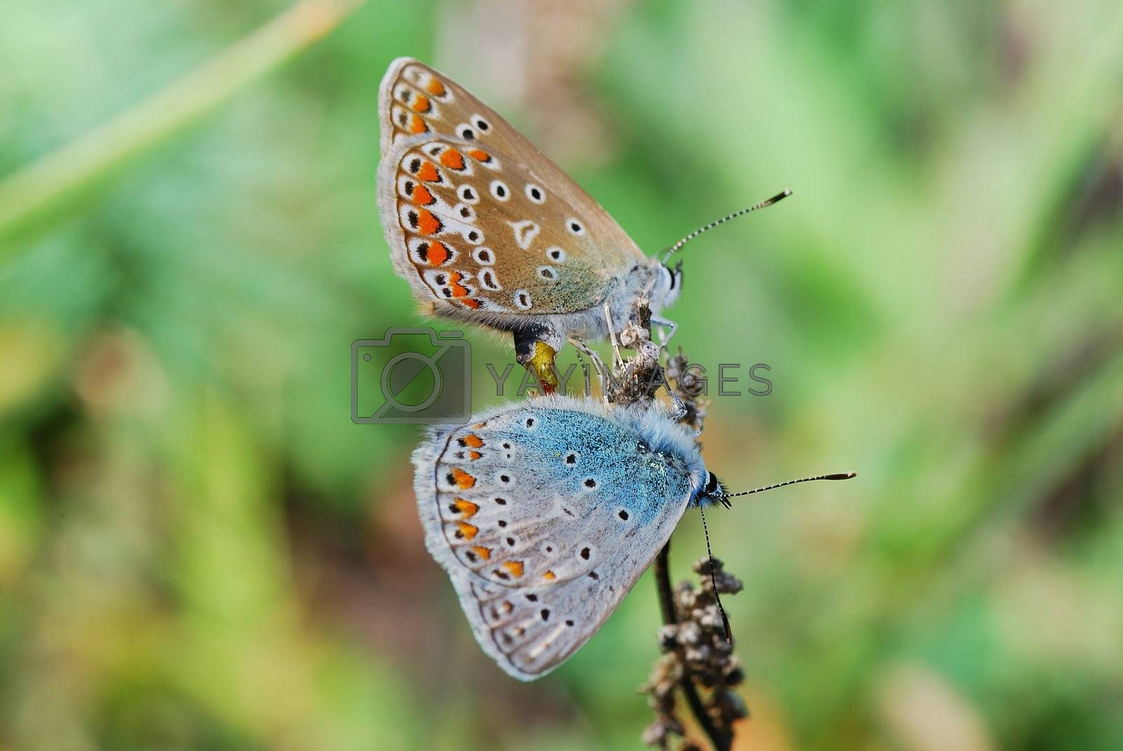Two small blue butterflies colorful butterfly sits on the ast spring
