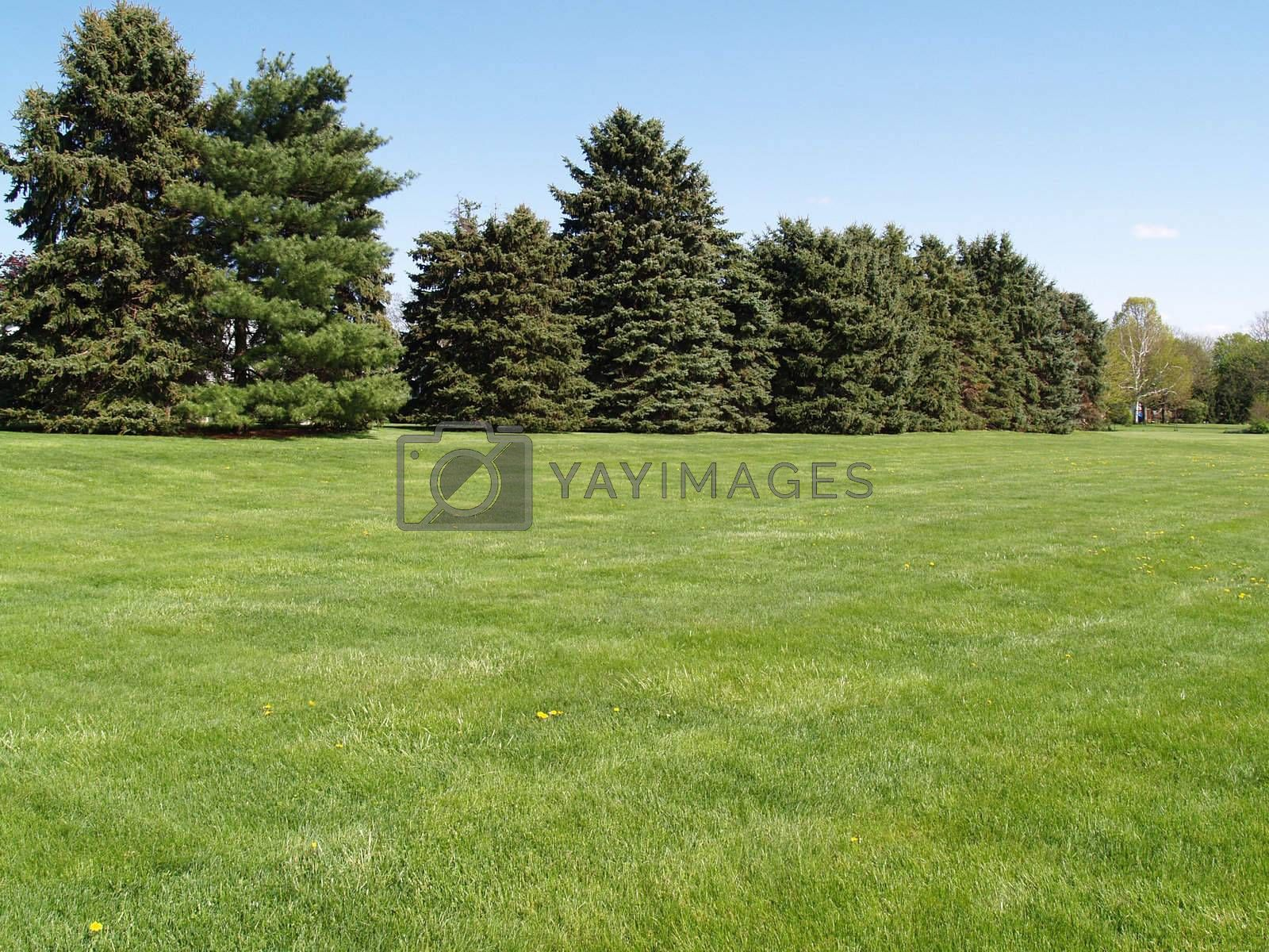 evergreen trees by a green lawn with a blue sky in the background