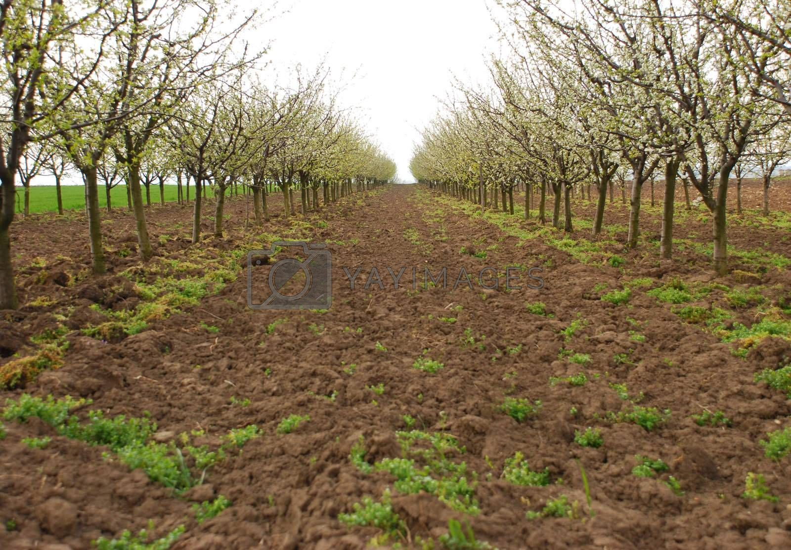 an apple orchard blooming in spring