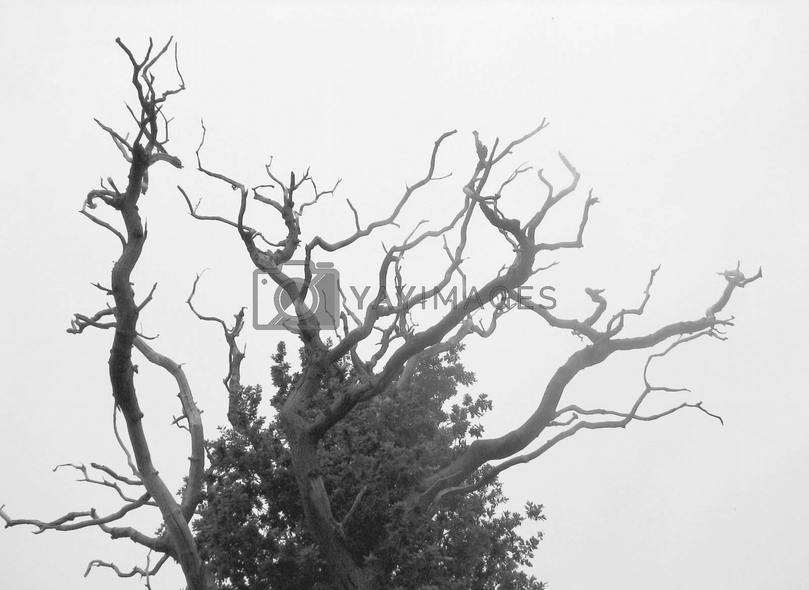 black-and-white nature background with dead oak in the mist