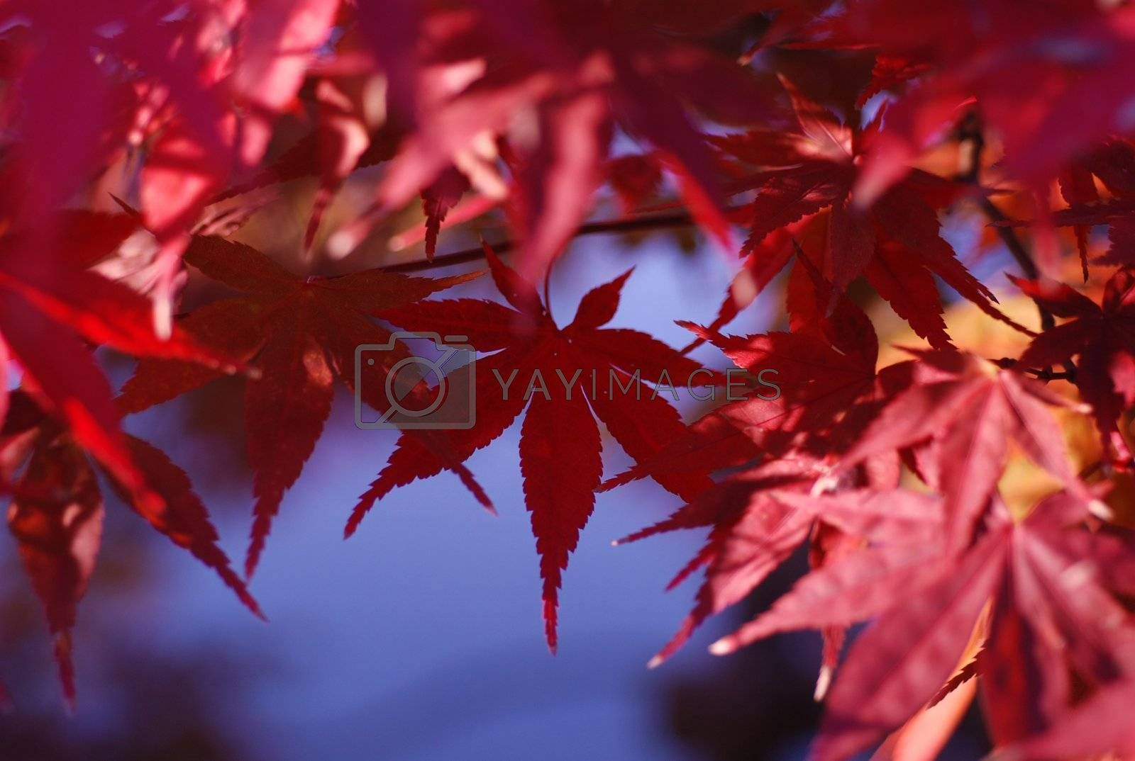 Red maple leaves fill the screen a single leaf hangs down in center of frame