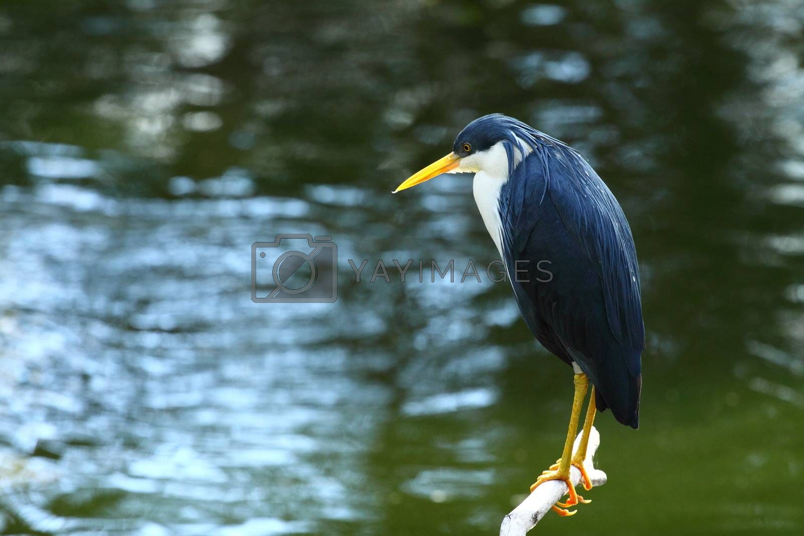 Australian Bird