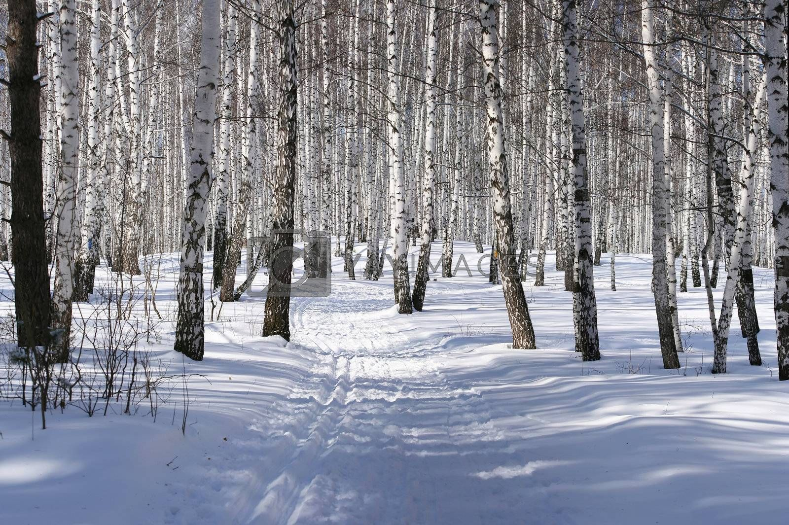 ski-track in a birch forest