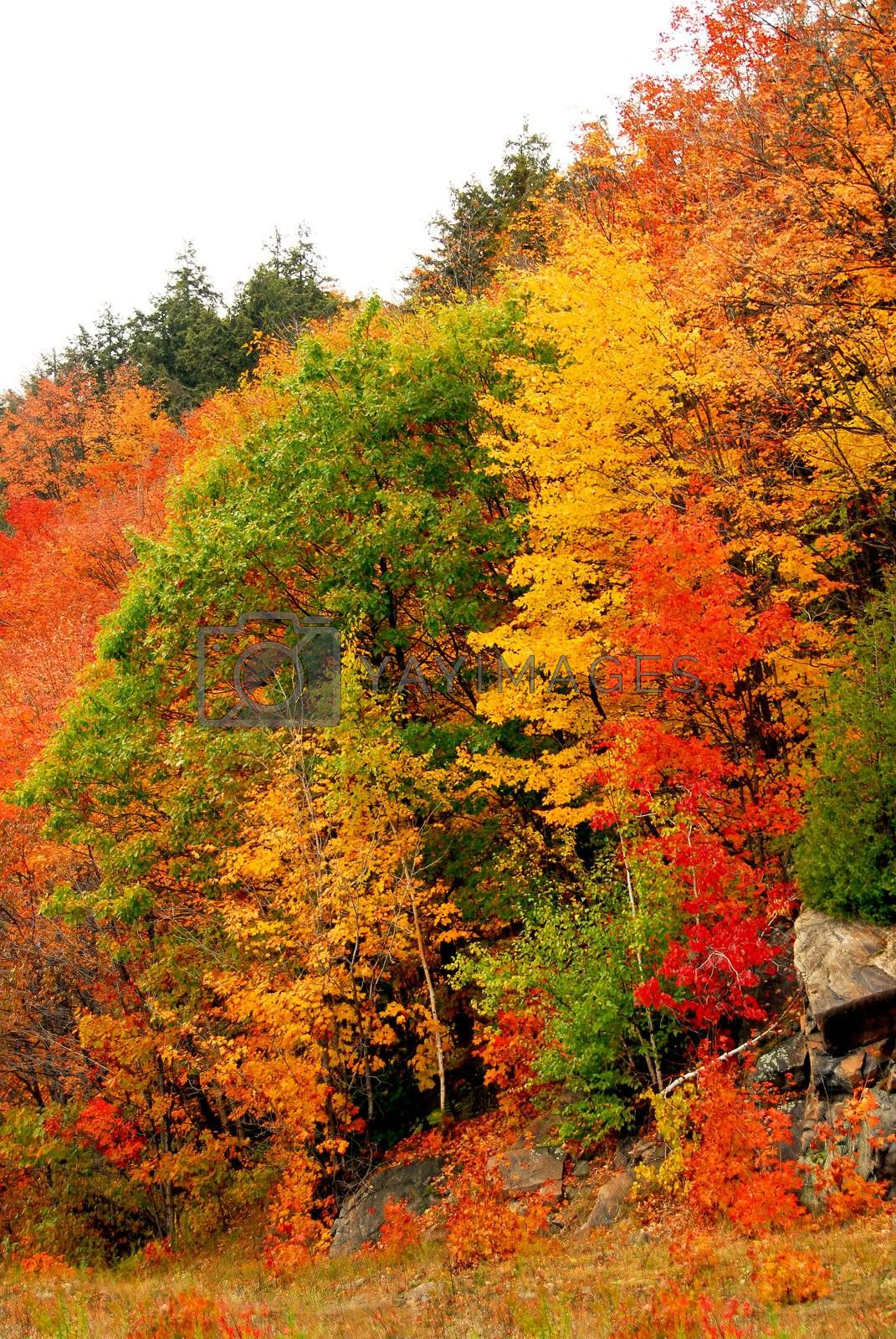 Colorful yellow and red fall forest background
