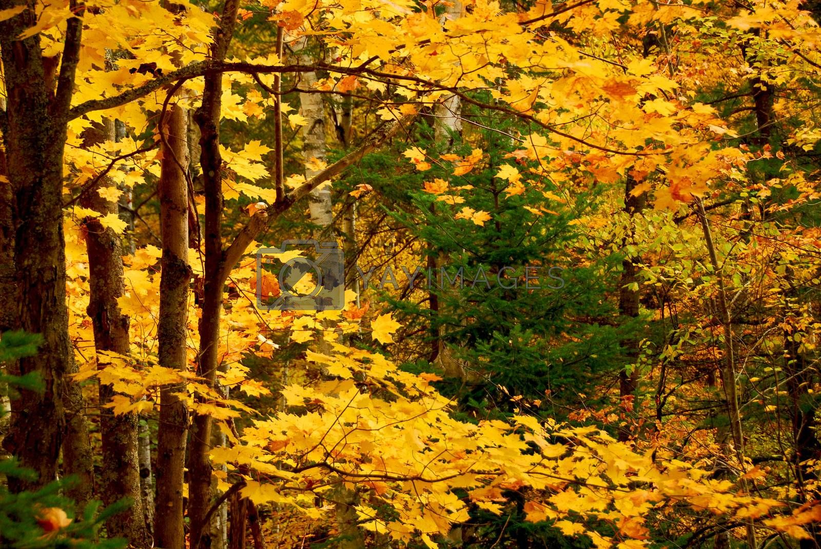 Colorful fall forest background with maples trees