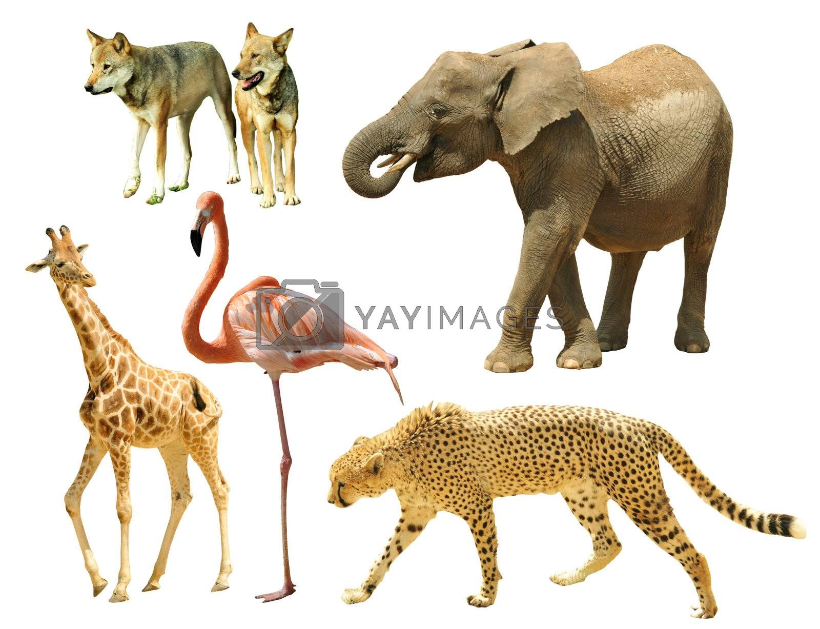 Assembling of wild animals isolated on white background