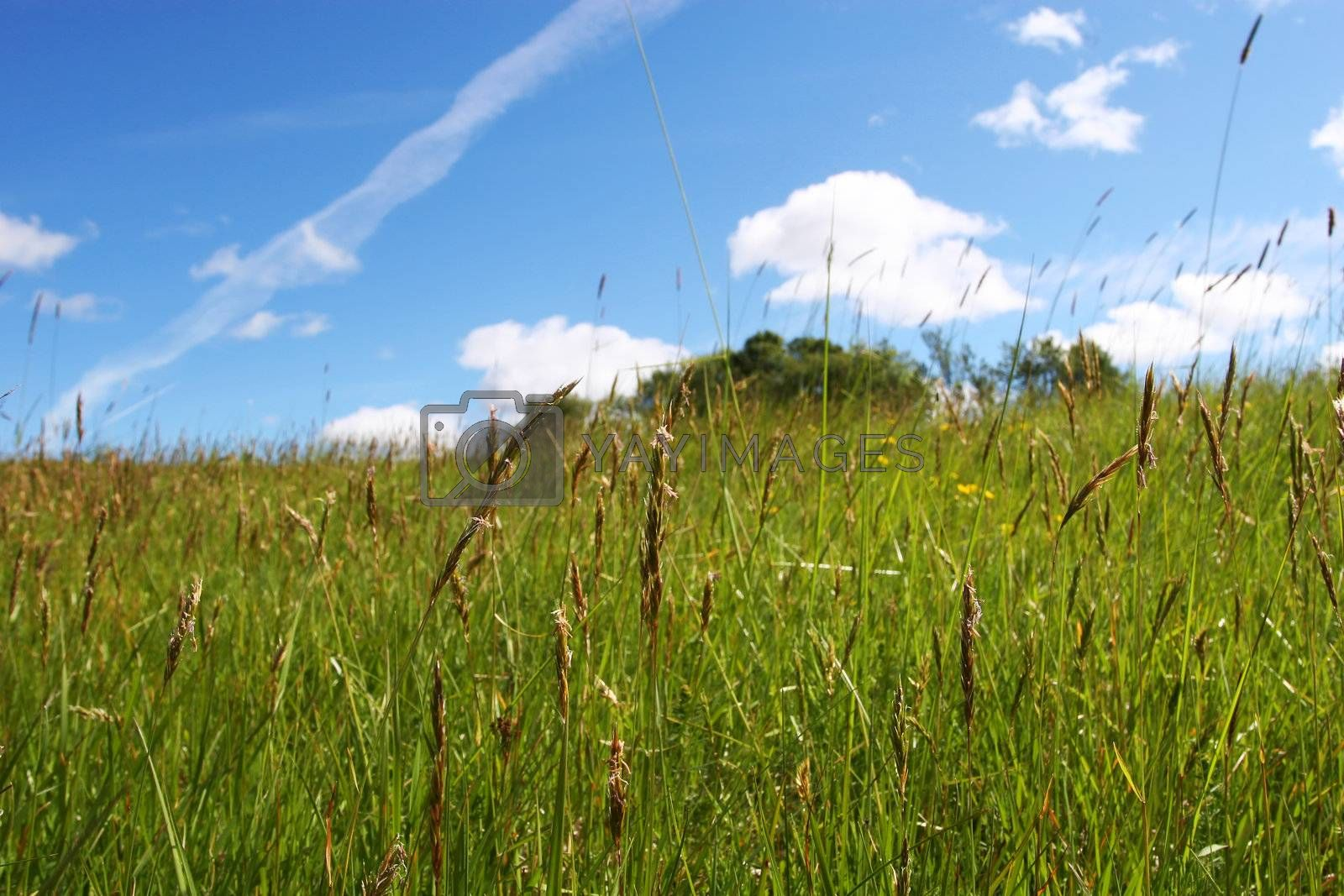green field during summer, focus on straws closest blue sky in background,