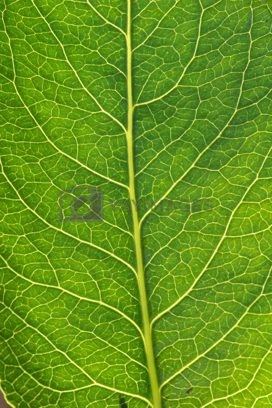 A macro of the veins in a tree leaf