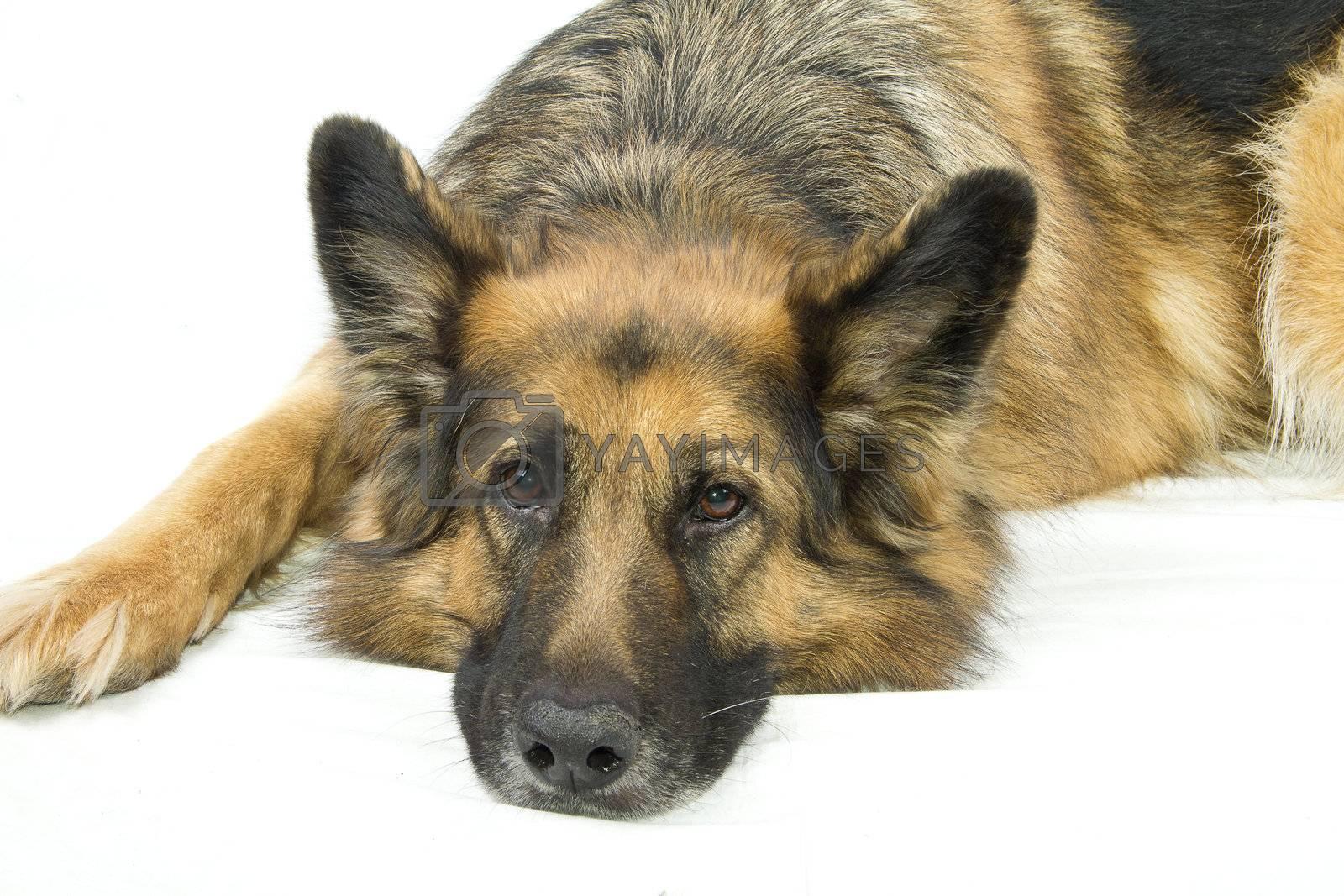 German Shepherd sad