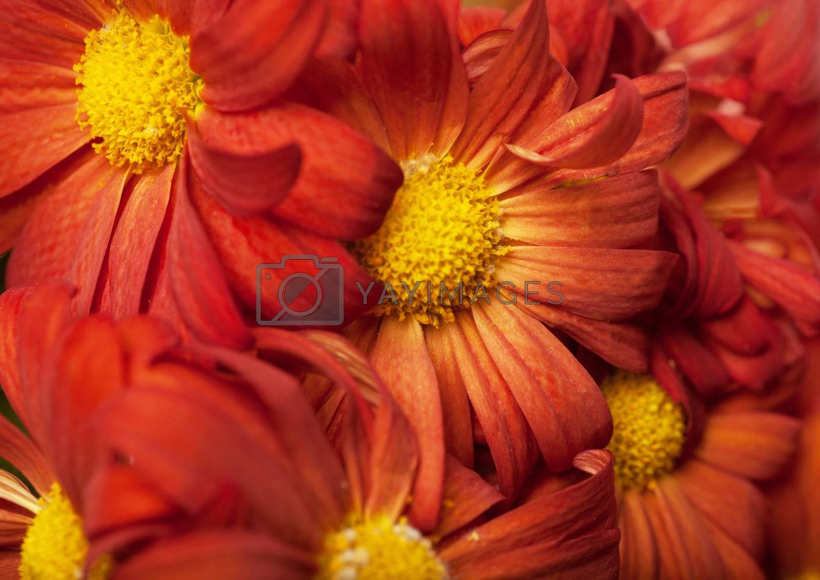 Royalty free image of Petals by AGorohov