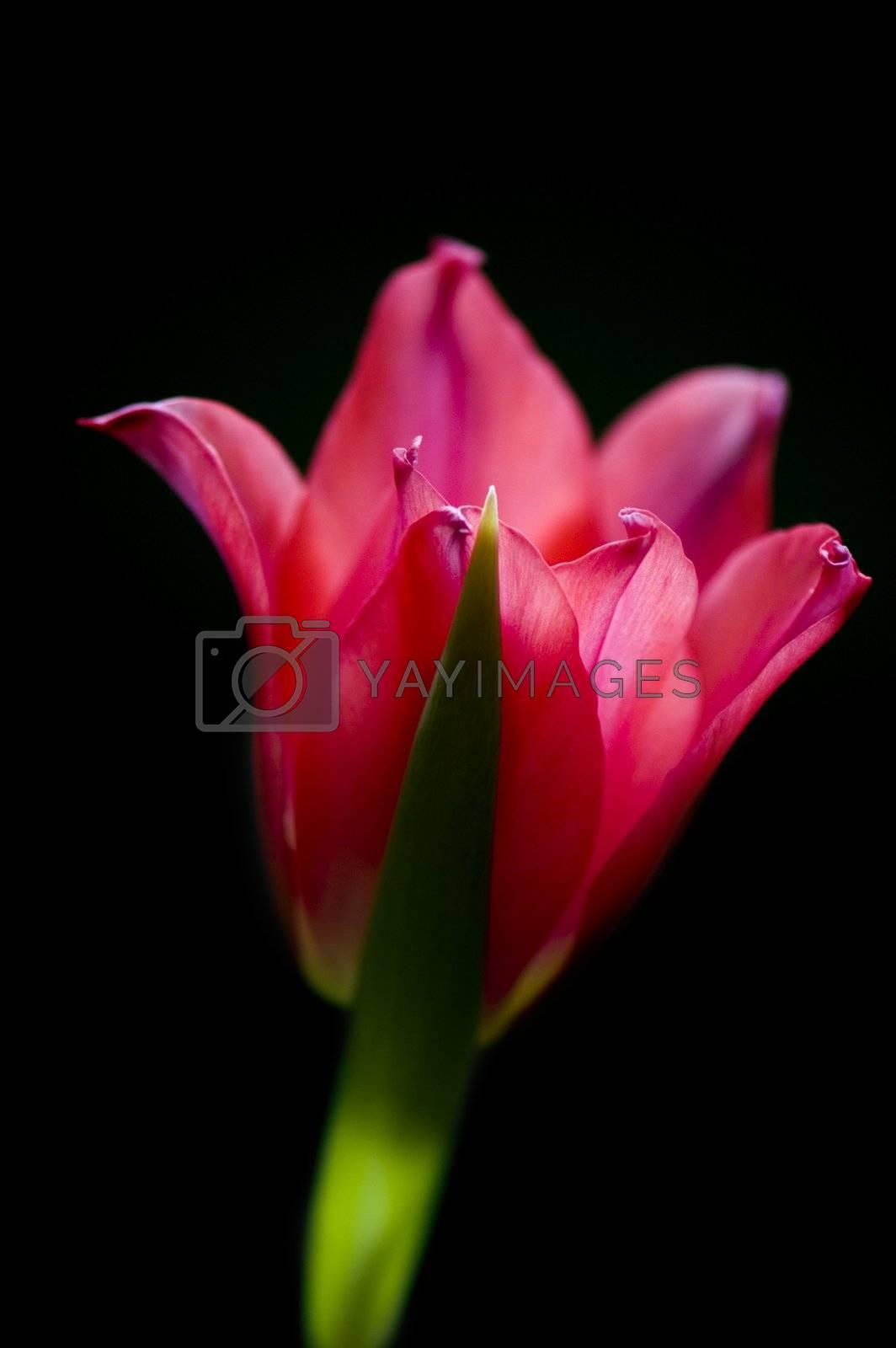 Scarlet tulip on a black background